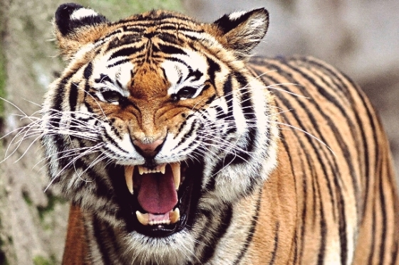 Harimau Sumatera (Sumber Gambar : http://lilinmagazine.com/wp-content/uploads/2013/08/harimau-Sumatera-juga.jpg)