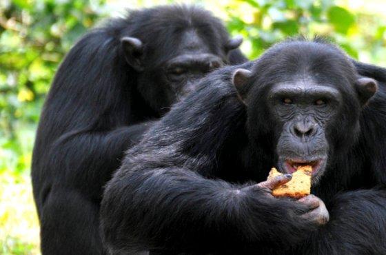 Citra Satelit telah Membantu Upaya Konservasi Terhadap Simpanse serta Memberikan Edukasi Terhadap Penduduk Lokal Terkait Strategi Penggunaan Lahan di Kawasan Hutan di sekitar wilayah Taman Nasional Gombe di Tanzania (Sumber Foto : James Akena/Reuters)